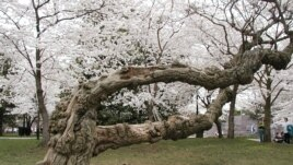 An Old Cherry Tree in DC