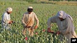 Nông dân Afghanistan thu hoạch trên một cánh đồng trồng cây thuốc phiện ở thị trấn Chaparhar trong tỉnh Nangarhar, phía đông thủ đô Kabul.