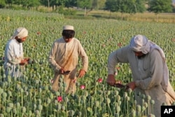 FILE - Afghan farmers collect raw opium as they work in a poppy field in Chaparhar district of Jalalabad, east of Kabul, May 1, 2014. Afghanistan's drug trade supports insurgents and the extremists in the country, U.S. offials say.