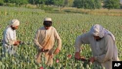 جلال آباد میں لوگ پوست کے کھیت میں کام کر رہے ہیں