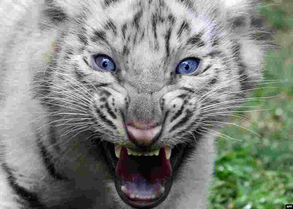 One of the four white Bengal tigers born in captivity on Jan. 14, 2013 at Argentina's Buenos Aires zoo growls during their presentation.