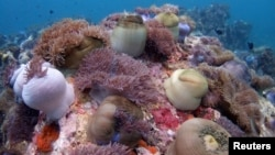 FILE - A bed of corals off Malaysia's Tioman island in the South China Sea