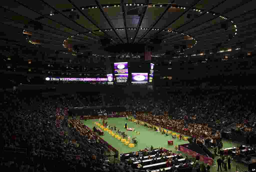 The Hound Group being judged at the 136th Westminster Kennel Club Dog Show in New York's Madison Square Garden, February 13, 2012. (REUTERS)