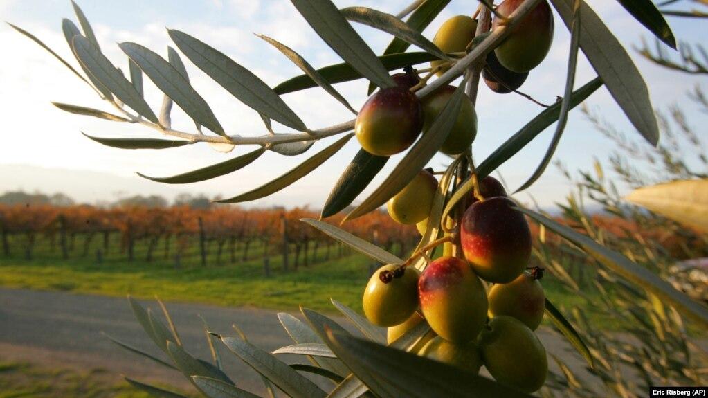 Prodhimi i vajit të ullirit në zonën e Beratit
