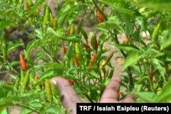 Chili plants in Kangorio village, Kenya, July 5, 2017.