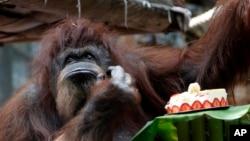 Orangutan Nenette menikmati kue ulang tahun ke-50 di kebun binatang Jardin des Plantes, Paris, Minggu, 16 Juni 2019. (Fotto: Thibault Camus/AP)