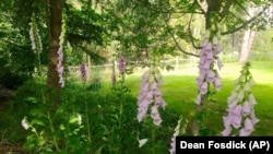 This assortment of foxgloves, pictured growing June 9, 2019, near Langley, Washington, is attractive to a variety of pollinators, especially bumblebees.