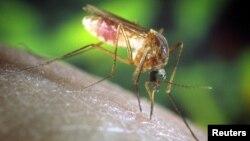 Virus Zapadnog Nila prenose komarci