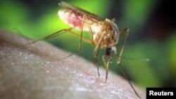 La infección es causada por un mosquito conocido como Culex Pipiens en la jerga científica, que con su picadura transmite un virus que produce fiebre, dolores de cabeza, fatiga, diarrea y erupciones cutáneas, entre otros síntomas.