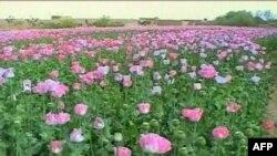 Опиумный мак. Афганистан. Октябрь 2009 года