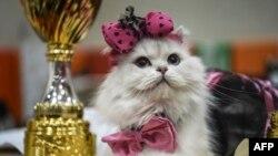 استنبول میں بلیوں کے عالمی مقابلے میں شامل ایک بلی۔ اکتوبر 2016