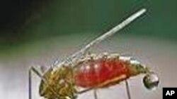 ملیریا کا مچھر