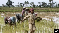 Local Cambodian villagers plant rice in a farm field during the rainy season in Prakar village.