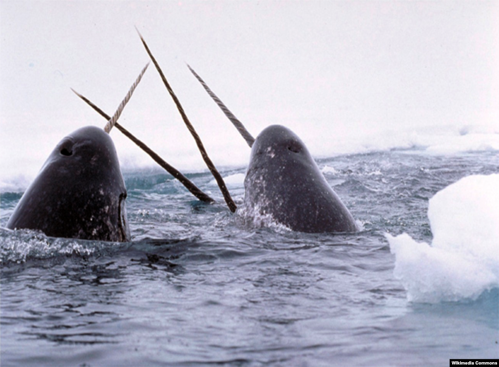 Narwhal tusks from the far North Atlantic were collected throughout Renaissance Europe as unicorn horns. Only males have these horns, which are, properly speaking, tusks because they are modified teeth. A few rare males have two.