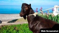 Hình ảnh con dê có tên 'Obama' của vườn thú Primorye. Ảnh chụp màn hình trang web themoscowtimes.com