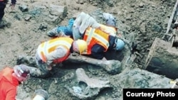 Workers unearth a mammoth femur found at the Oregon State University stadium Monday. (Photo: Oregon State University)
