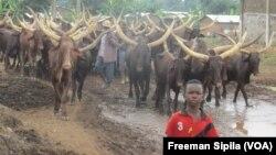 Des éleveurs et leurs troupeaux devant la SEGA, à Bangui, Centrafrique, le 6 août 2016. (Freeman Sipila/VOA)