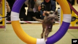 Morgan, a 12-time agility champion Chinese Crested breed, performs during a press conference on Jan. 30, 2017, in New York. Morgan will compete at the 141st Westminster Kennel Club Dog Show at Madison Square Garden on Feb. 13-14.