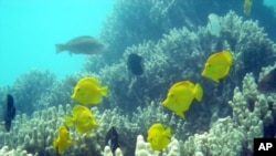 These are yellow tangs gliding among corals.