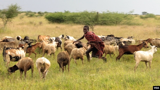 A boy tends goats in Karamoja, Uganda, where traditional animal herding is giving way to agriculture, August 27, 2012. (VOA - H. Heuler)