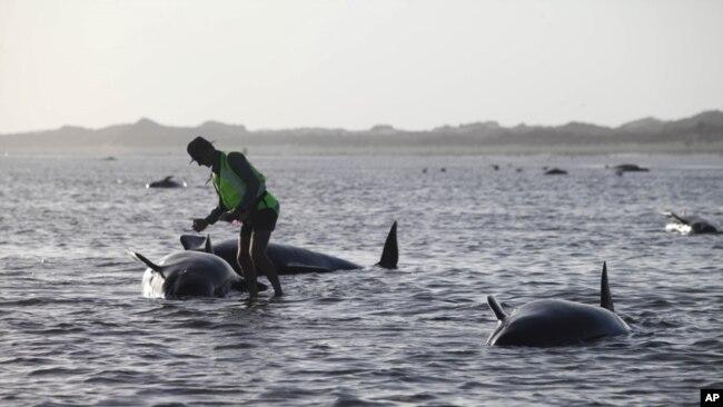 Decenas de voluntarios, biólogos y autoridades de Nueva Zelanda trabajan para rescatar a las ballenas piloto que encallaron la noche del 10 de febrero en el extremo norte de ese país.