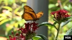 Các con bướm bay lượn nhẹ nhàng, dễ thương bên trong trong khu triển lãm của Viện Smithsonian.