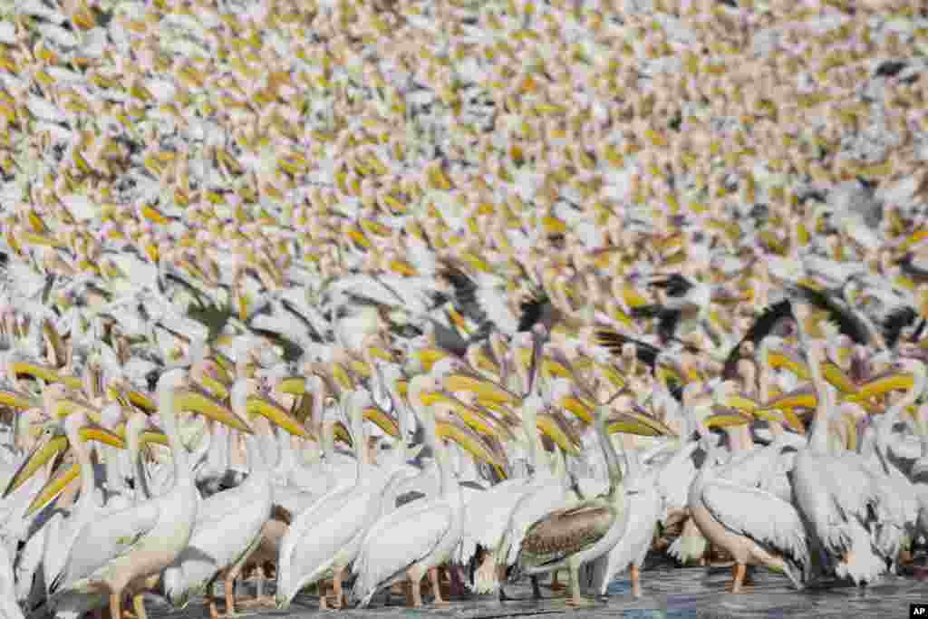 Great White Pelicans gather in Mishmar HaSharon reservoir in Hefer Valley, Israel, to catch food.