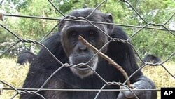 A chimpanzee being playful in Sweetwaters Chimpanzee Sanctuary in Ol Pejeta, Kenya, March 2012. The sanctuary houses and rehabilitates 41 traumatized chimpanzees from West and Central Africa.