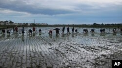 지난해 5월 북한 함흥 인근 통봉협동농장에서 주민들이 모내기를 하고 있다.