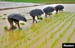 FILE - Laborers plant saplings in a paddy field on the outskirts of the eastern Indian city of Bhubaneswar.