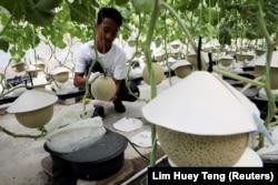 Seorang petani memoles melon Jepang di Mono Farm di Putrajaya, Malaysia, 8 April 2021. (Foto: REUTERS/Lim Huey Teng)