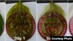 Foto perkembangan tumbuhnya sel-sel jantung manusia pada daun bayam, menggunakan jaringan vaskular tanaman itu. (Foto: WPI)