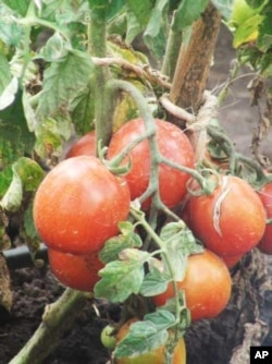 Slow Food International wants Africans to eat more local food, such as these indigenous Tanzanian tomatoes