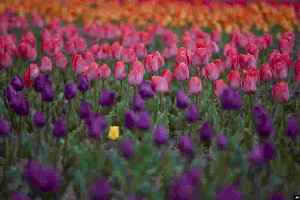 Tulips are in full bloom at a garden in the outskirts of Srinagar, Indian-controlled Kashmir.