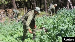 Soldiers destroy poppy plants used to make heroin during a military operation in the state of Sinaloa, Mexico. (File)