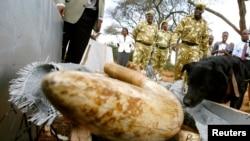 """""""Charlie"""", chien renifleur nommé de Wildlife Service (KWS) Kenya a aidé à retrouver une cargaison de défenses d'éléphants emballés dans une caisse en bois dans le parc national de Nairobi, au Kenya, 30 septembre 2009."""