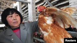 2013年4月1日,中国山东省邹平县北范村一名养鸡场厂的农民在查看鸡的情况。