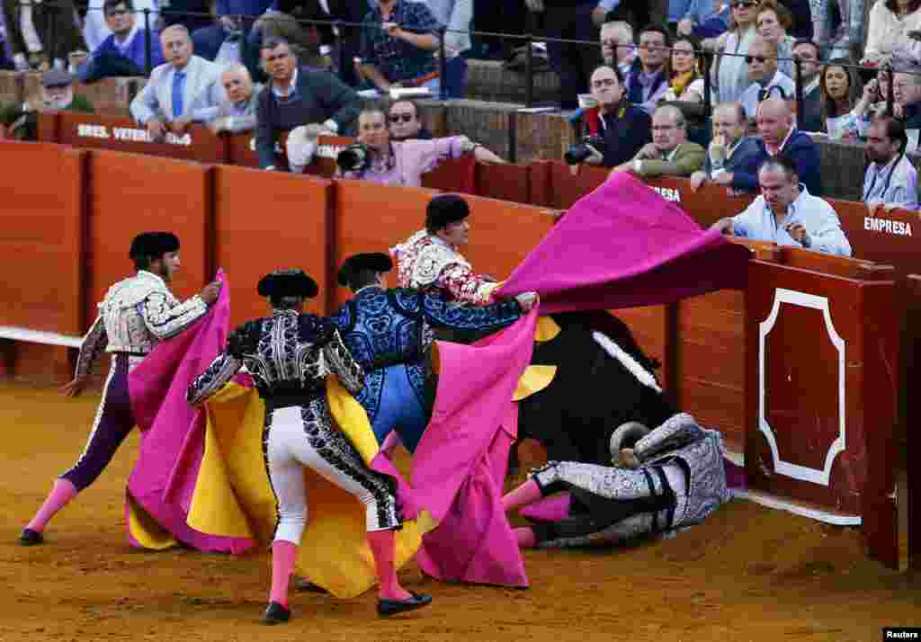 """Spanish banderillero Jose Maria Fernandez """"Alcalareno"""" is tackled by a bull during a bullfight at the Maestranza bullring in the Andalusian capital of Seville, southern Spain, April 6, 2016."""