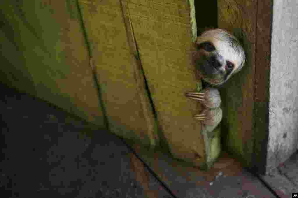 브라질 마나우스주 수상 가옥에서 나무늘보가 한 마리가 문 틈으로 얼굴을 내밀고 있다.