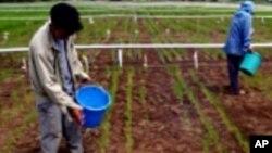 Abalimi bafaka imvundiso ye fertilizer emasimini.