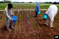 Farmers apply fertilizer to an experimental rice field.