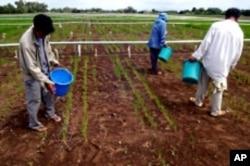 Farmers apply fertilizer to an experimental rice field.