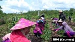 Petani gambut lokal di desa Tri Mendayan, Sambas, Kalimantan Barat bercocok tanam di kebun-kebun percontohan (demplot). (Foto: Courtesy/Badan Restorasi Gambut)