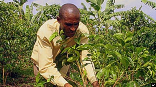 Louis Ntiricakeza is one of the few Rwandan farmers already growing coffee underneath bananas, October 2011.