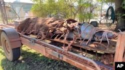 Seekor buaya jantan seberat 350 kilogram diikat di bagian belakang sebuah trailer di Katherine, Australia, 28 Agustus 2020. (Northern Territory Dept. of Tourism, Sport and Culture via AP).