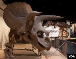 Triceratops dan Tyrannosaurus Rex menguasai pameran baru Museum Sejarah Alam Nasional di Washington, D.C. (Donald H. Hurlbert/Smithsonian Institution)