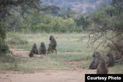 Members of the baboon troop are resting in the shade. (Photo: Rob Nelson)