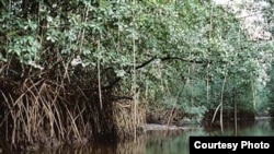 In the 70s, mangroves covered some 600,000 hectares along Cameroon's 590km Atlantic coast. Today, only a third remains. (Cameroon Mangrove Network)