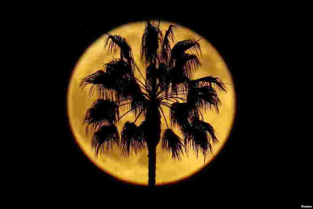 A full moon rises with a palm tree in the foreground, in Encinitas, California, Oct. 24, 2018.