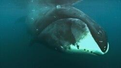 200년 사는 북극고래 장수 비결 규명 연구